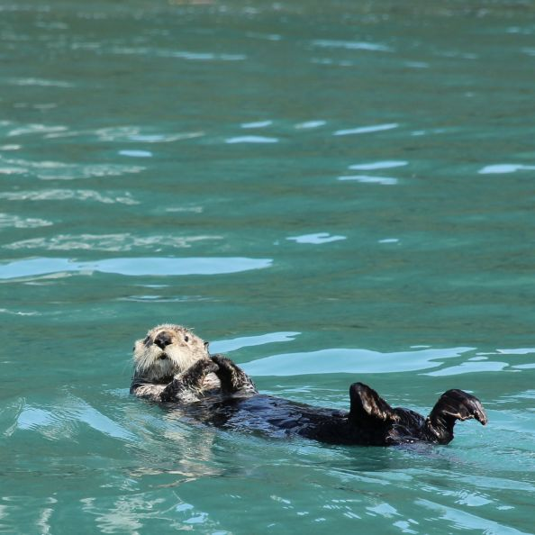 Sea Otter in Prince William Sound