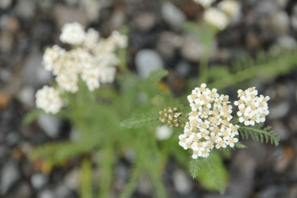 Yarrow in the Garden