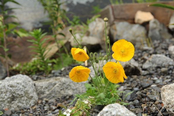 Icelandic Poppies...sometimes orange and sometimes yellow