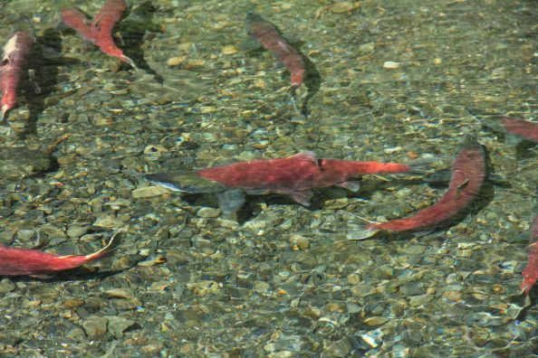 Sockeye Salmon Spawning up River
