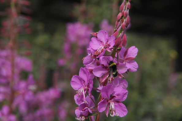 Fireweed in Denali