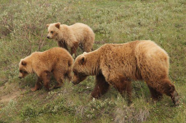 Denali Grizzlies